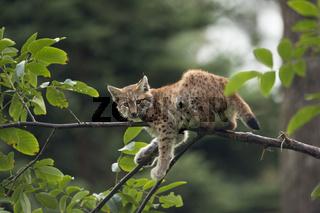 Ruhezone... Eurasischer Luchs *Lynx lynx*, Jungluchs ruht auf einem dünnen Ast