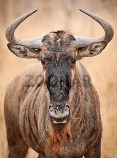 Streifengnu, blue wildebeest, Südafrika, Kruger Nationalpark, South Africa