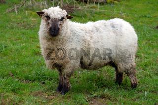 Ein Schaf in Deutschland
