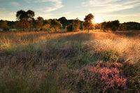 evening sunshine over marsh with flowering heather