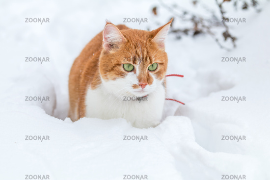 Cut red-white cat playing on white snow surface