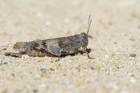 blue winged grasshopper, Oedipoda caerulescens, Blaufluegelige Oedlandschrecke