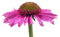 Echinacea on white