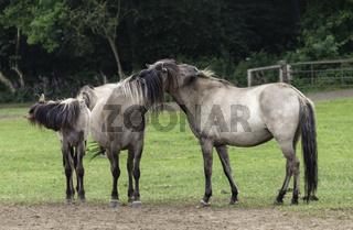Gemeinschaftliche Pflege, wild lebende Pferde im Merfelder Bruch, Dülmen, Nordrhein-Westfalen, Juni,