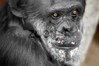 Schimpansenaugen