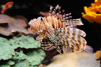 Lionfish (Turkeyfish) in the Red Sea.