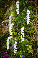 Fresh blossoming white orchid plant flowers on many branch