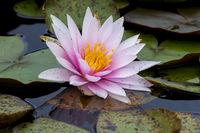 Nymphaea,seerose,wasserrose,Water-lilies,Nymphaea Fritz Junge,