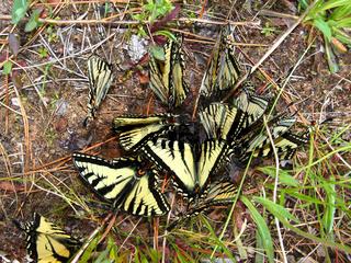 Tiger Swallowtails (Papilio glaucus)