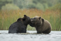 playful fight in the shallow water of a lake... European Brown Bears *Ursus arctos*