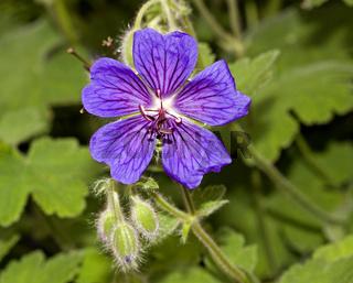 Wiesenstorchschnabel  Geranium pratense