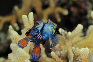 Paarung vom Mandarinfisch, Synchiropus splendidus