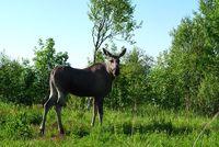 Moose at Lofoten islands