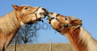küssende Haflinger