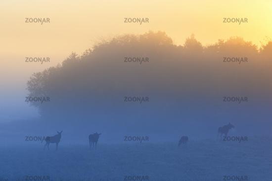 Flock mooses in morning fog