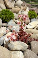 Sempervivum among stones