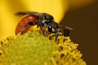 Große Blutbiene