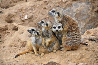 Close up portrait of meerkat family looking away