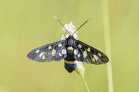 Nine spotted Moth, Amata phegea, Weissfleck-Widderchen