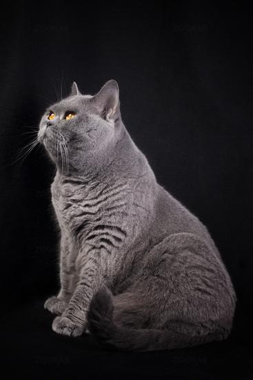 Gray shorthair British cat sitting on a black background