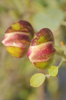 Israel Flowers - caper