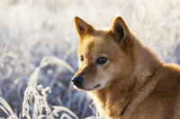 Finnish Spitz dog at Sunrise with rime