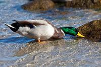 Duck At The Baltic Sea Beach