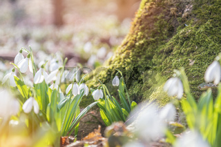 Tender snowdrops in the spring forest on a sunny day. Beautiful spring background with copy space. Processing photo with soft focus