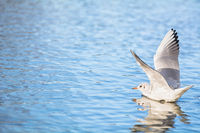 A seagull lands with spreading wings on a lake