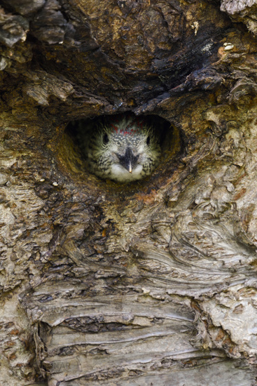 watching out of its nest hole... Green Woodpecker *Picus viridis*