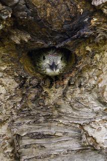 stiller Beobachter... Grünspecht *Picus viridis*
