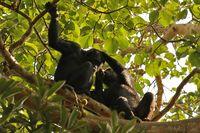 Delousing Chimps in a tree