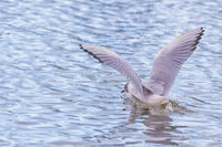 A seagull lands with spreading wings on a sea