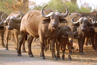 African buffalos, Kruger NP, South Africa