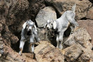 Ziegen, Jungtiere, La Gomera