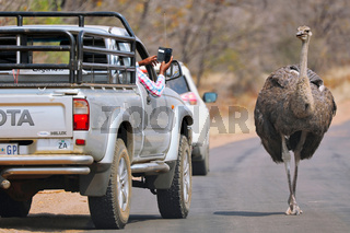 Strauß auf der Straße, Kruger Nationalpark, Südafrika; ostrich on the road in Kruger National Park, South Africa, Struthio camelus