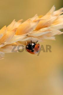 ladybug on gold nature seed. Closeup