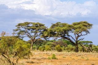 Landschaft mit Schirmakazien in Kenia