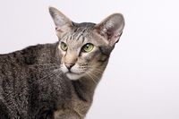 ORIENTAL SHORTHAIR, ORIENTAL CAT, CLOSEUP, BLACK-TABBY-SPOTTED, ADULT,
