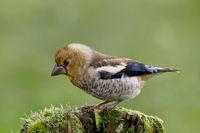 Kernbeisser Bird