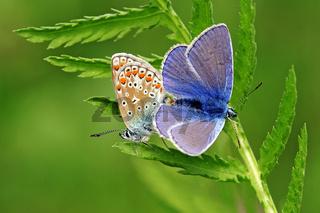 Bläulinge - Schmetterlingspaarung - Blaeuling