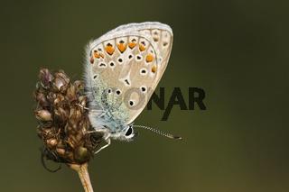 Blaeuling (Lycaenidae), Lycaenidae, ossamer-winged butterfliy