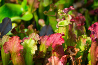 Carnivorous Sarracenia pitcher plants