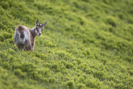 in fresh green alpine vegetation... Alpine Chamois *Rupicapra rupicapra*