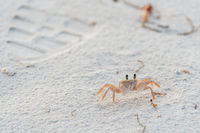 Ghody crab in the sand