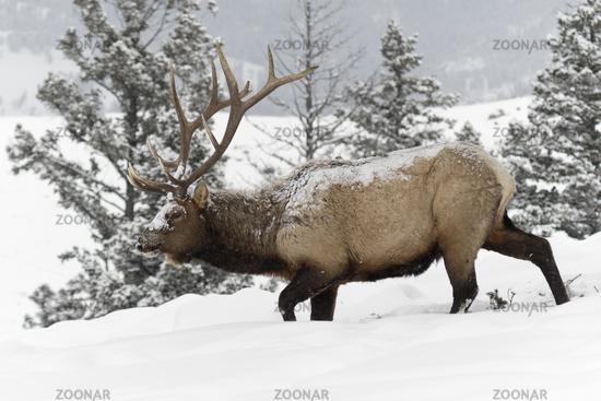 hard times... Elk *Cervus canadensis*