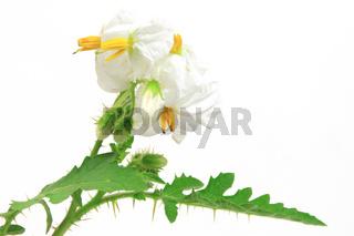 Litschi-Tomate (Solanum sisymbriifolium)