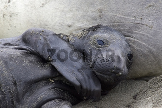 Northern Elephant Seal with Baby, Noerdlicher See-Elefant mit Baby, Mirounga angustirostris, San Semion, Kalifornien, California, USA
