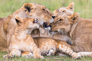 Resting lions flock with a playful lion cub on the savanna