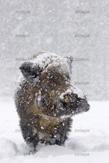Wild boar with snow (Sus scrofa)